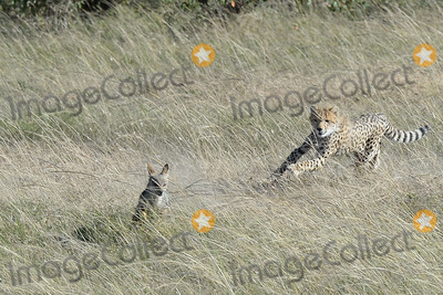 CHEETAH CUB Photo - March 5 2016 New York CityCheetah cub chases a Jackal seen in Maasai Mara National Reserve on March 5 2016 in KenyaCredit Kristin Callahan